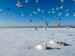 Freezing on the ice of the Riga Bay swans in the winter.