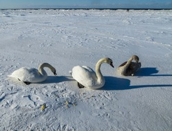 Freezing on the ice of the Riga Bay swans in the winter of 2018.
