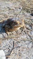 Freezing toad during cold snap