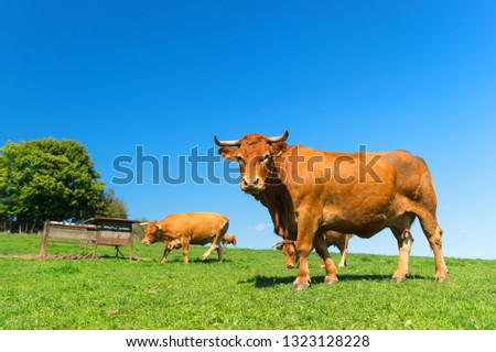 French agriculture landscape with brown Limousine cows #1323128228