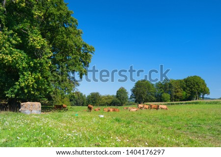 French agriculture landscape with brown Limousine cows #1404176297