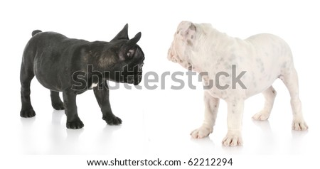 french and english bulldog puppies looking away from viewer with reflection on white background