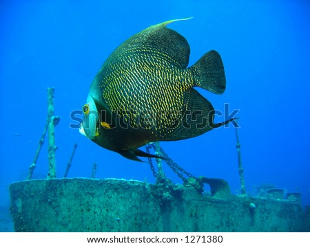 French angel fish on the shipwreck of the Oro Verde off of Grand Cayman Island - stock photo