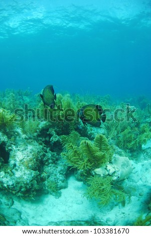 French angel fish swimming in underwater seascape near gorgonian plants