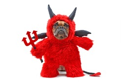 French Buldog dog with red devil Halloween costum wearing a fluffy full body suit with fake arms holding pitchfork, with devil tail, horns and black bat wings isolated on white background