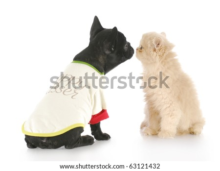 french bulldog and persian kitten greeting each other with reflection on white background