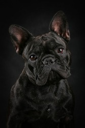 French bulldog, black on black