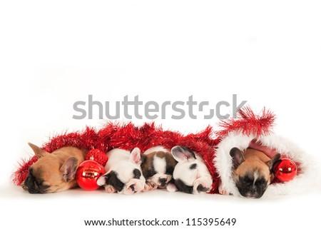 French Bulldog christmas puppies