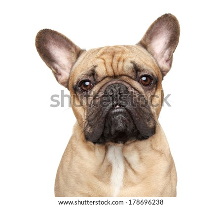 French bulldog. Close-up portrait Isolated on a white background. #178696238