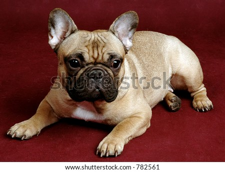 french bulldog Danya