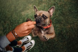 french bulldog dog begging for a treat outdoors, top view