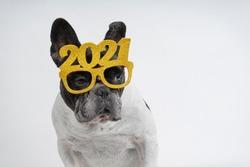 French bulldog dog celebrating new year 2021 with text glasses. Isolated on white background.