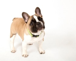French bulldog dog cute puppy