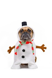 French Bulldog dog dressed up as funny snowman with full body suit costume with striped scarf, fake stick arms and small top hat on white background