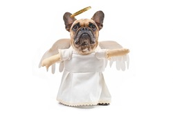 French Bulldog dog dressed up with angel costume with white dress, fake arms, fetaher wings and golden halo on white background