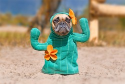 French Bulldog dog dressed up with funny cactus Halloween dog costume with fake arms and orange flowers standing on sandy ground