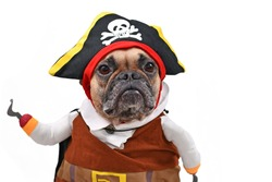 French Bulldog dog dressed up with funny pirate costume with hat and fake hook arm, isolated on white background