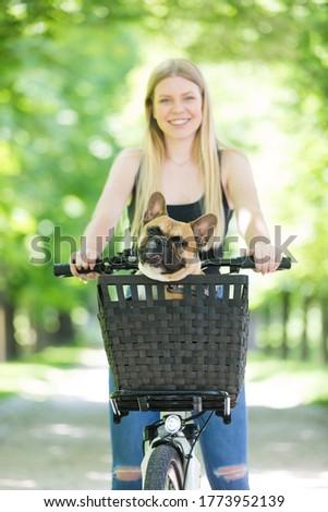 French bulldog dog enjoying riding in bicycle basket in city park.