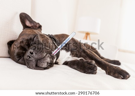 french bulldog dog having a hangover or feeling very sick and ill with temperature , thermometer in mouth showing fever