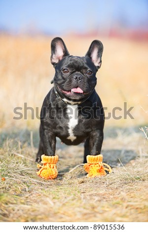 French Bulldog dog in baby booties