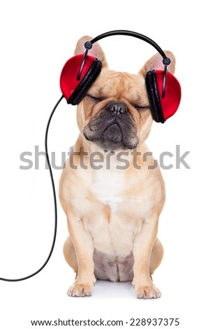 french bulldog dog listening music while relaxing and enjoying the sound isolated on white background