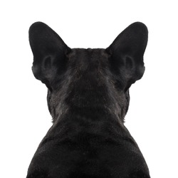 french bulldog dog looking straight, from behind showing back and  rear torso , while sitting , isolated on white background