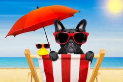 french bulldog dog   on a  beach chair   or hammock  on summer vacation holidays