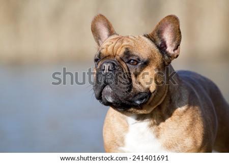French bulldog dog portrait #241401691