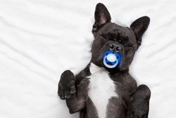 french bulldog dog   sleeping in bed like a baby with a pacifier ,  dreaming sweet dreams