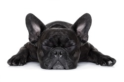 french bulldog dog sleeping on the ground isolated on white background