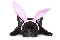 french bulldog dog sleeping on the ground with funny easter  ears,