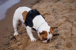 French Bulldog dog walking on the beach having great time sniffing on sand