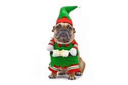 French Bulldog dog wearing funny traditional cute christmas elf costume with arms holding present isolated on white background