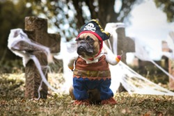 French Bulldog dog wearing pirate Halloween costume with hat and hook arm in front of graveyard covered in spider webs