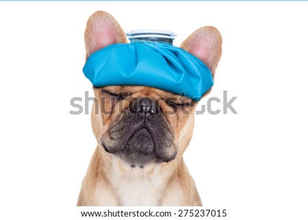 french bulldog dog  with  headache and hangover with ice bag or ice pack on head, eyes closed suffering , isolated on white background