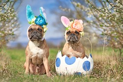 French Bulldog dogs with easter bunny costume ears sitting in giant egg on meadow with cherry blossom trees