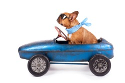 French Bulldog enjoys a ride in pedal car, isolated on white