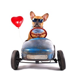 French Bulldog enjoys a ride in pedal car with red heart balloon, isolated on white