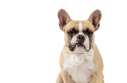 French bulldog feel angry and look at camera isolated on white backgrond, pets and emotion dog concept