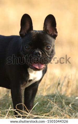 French Bulldog in a meadow #1501044326