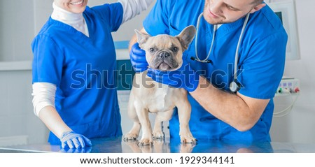 French Bulldog in a veterinary clinic. Two doctors are examining him. Veterinary medicine concept. Pedigree dogs. Mixed media Foto stock ©