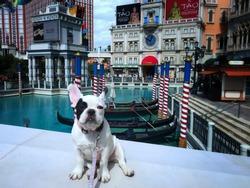 French Bulldog in American's Venetian
