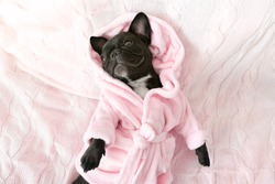French bulldog in bathrobe at home