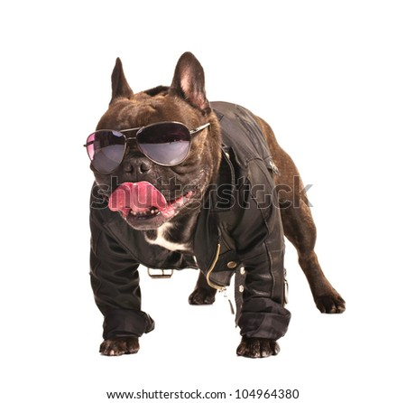 french bulldog in leather biker jacket isolated on white