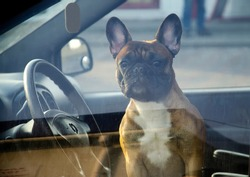 French bulldog in the inside of a manishina and looks out the window. The pet is alone in a closed car. The dog guards the car, waiting for its owner.