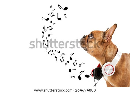 French bulldog listening music, while relaxing and enjoying the sound, isolated on white