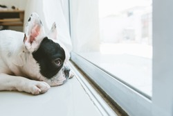french bulldog looking waiting for owner