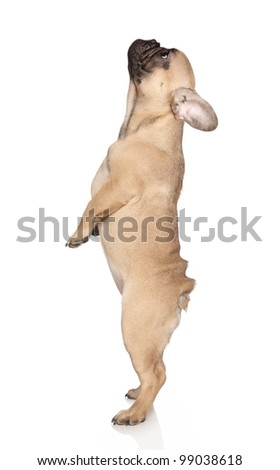 French Bulldog (3 month puppy) stands on hind legs on a white background