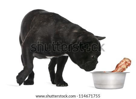French Bulldog, 12 months old, sniffing bone in bowl against white background