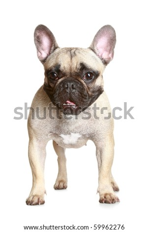 French bulldog on a white background